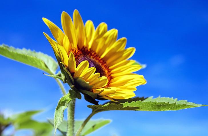 gratis sonnenblumensamen bestellen